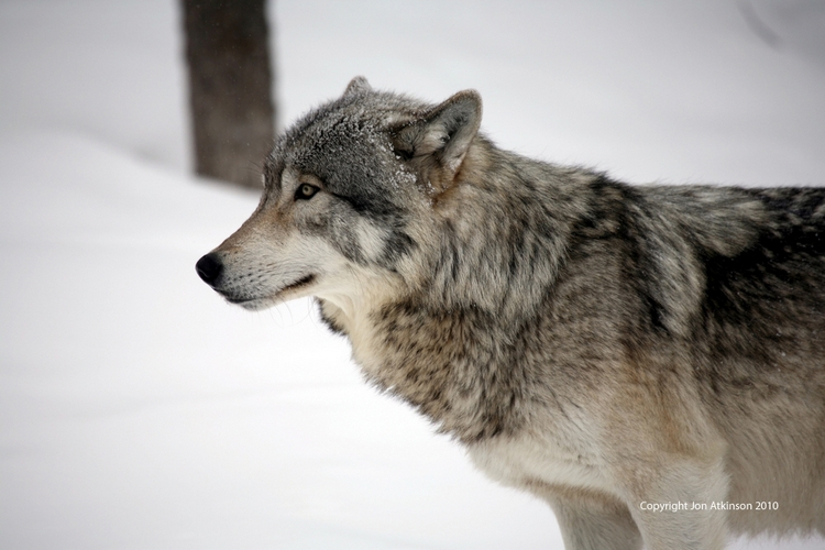 Grey wolf at omega park (parc oméga), quebec