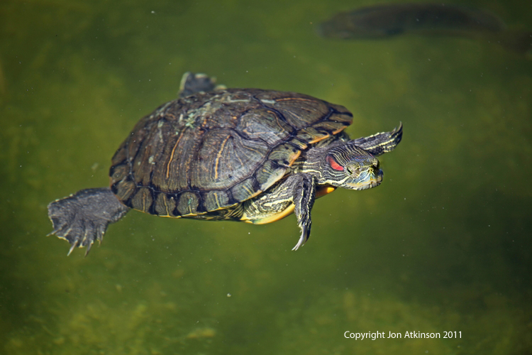 Red Eared Slider, Everglades N.P.