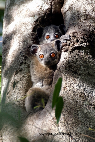 White-Footed Sportif Lemur, Berenty National Park, Madagascar.