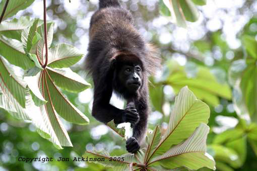 Black-Howler Monkey, Costa Rica.