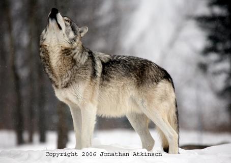 الذئب ( الولف ) الرمادي الشرقي الأمريكي الشمالي La_Grey_Wolf