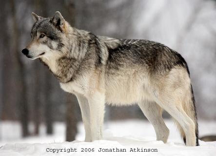 Wolf-Photos