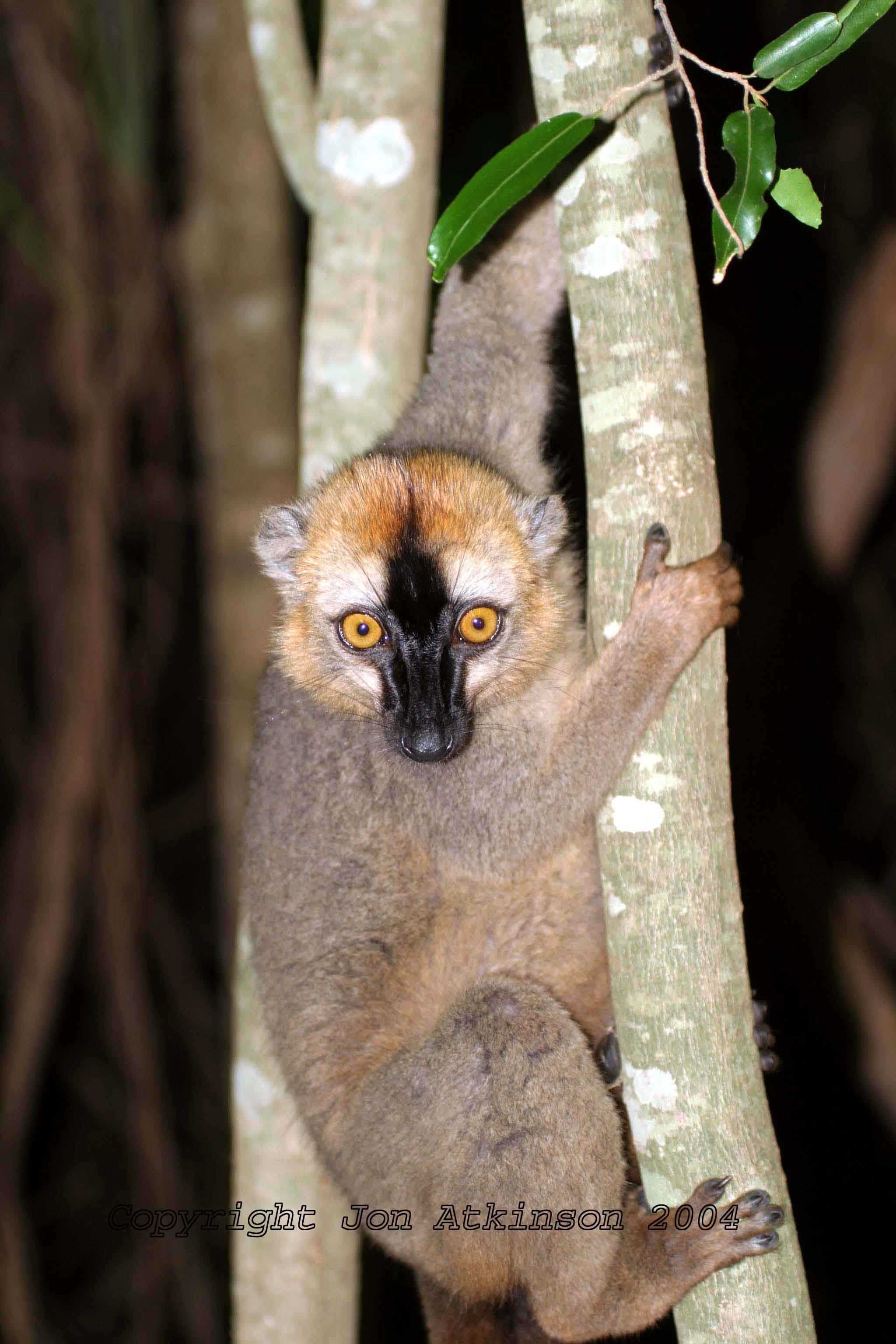 Red-Fronted Brown Lemur, Ranomafarma National Park, Madagascar.