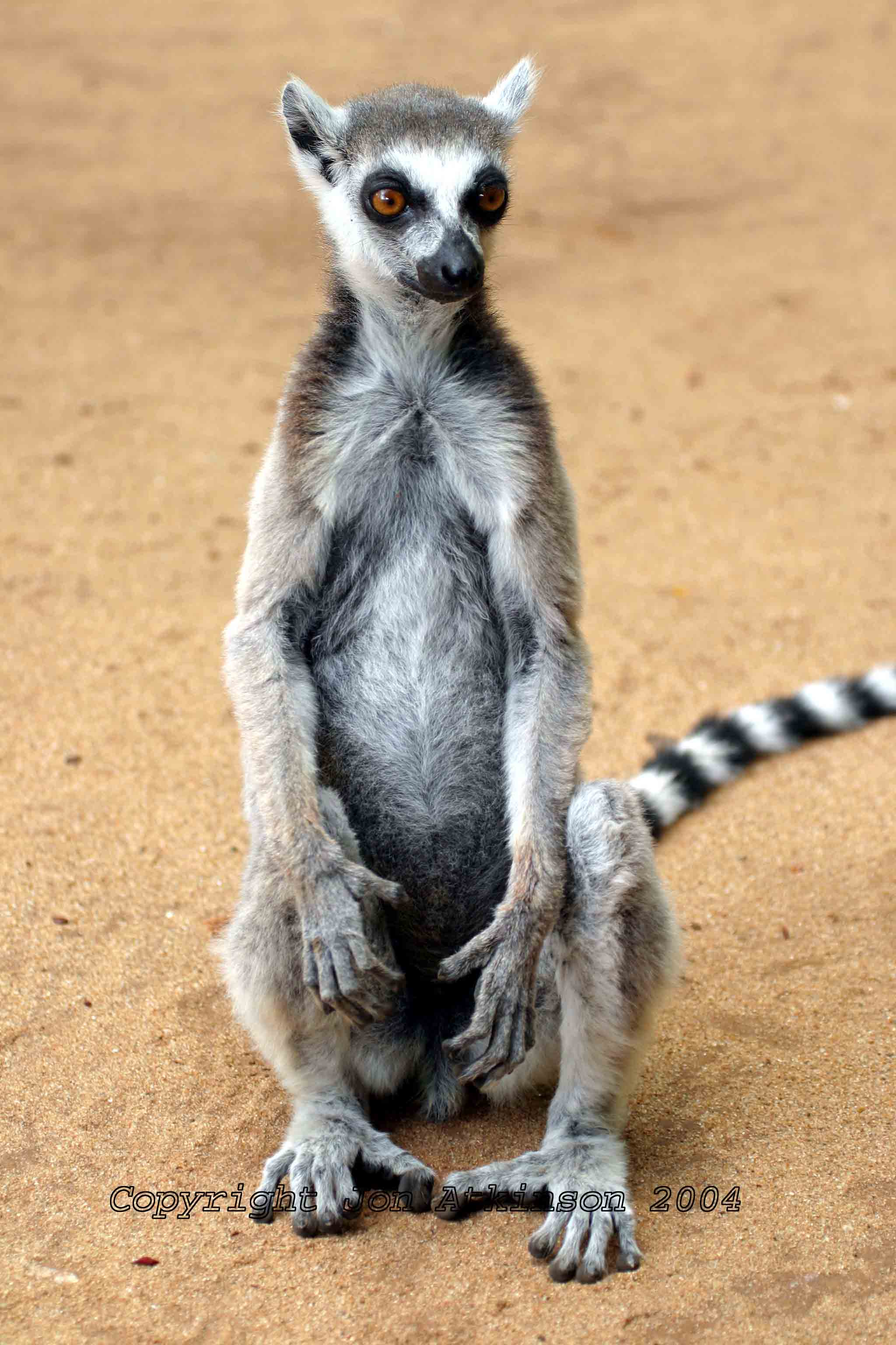 Ring-Tailed Lemur, Ranomafarma National Park, Madagascar.
