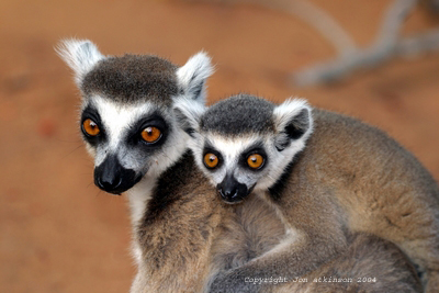Large Images/La_Ringed_Tailed_Lemur2.jpg