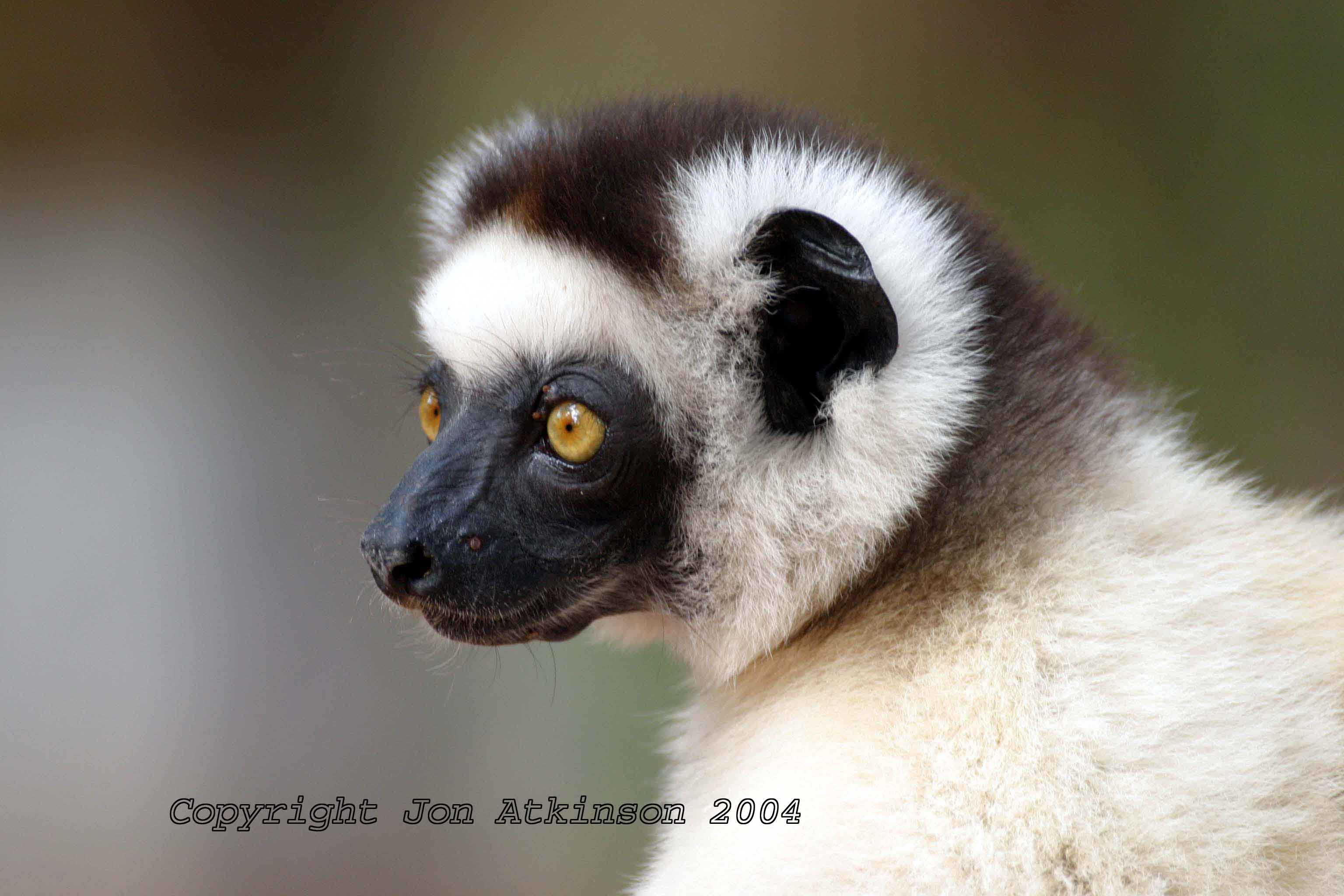 lemurs in madagascar Widespread logging and hunting have endangered virtually all of madagascar's  100-plus species of iconic lemurs, and a new study by.